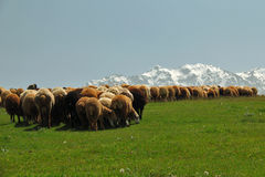 Crowd of Sheeps. Picture of a shepherd with his sheeps in the clean nature Stock Photo
