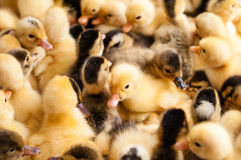 Crowd of small ducklings on farm Stock Image