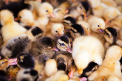 Crowd of small ducklings on farm Stock Photos