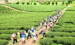 Crowd of tea picker picking tea leaf on plantation. Chiang Rai, Thailand Royalty Free Stock Photography