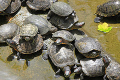 Crowd of turtles Royalty Free Stock Image