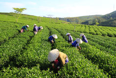 Crowd Vietnamese farmer tea picker on plantation Stock Image