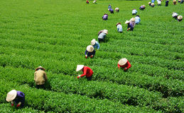 Crowd Vietnamese farmer tea picker  on plantation Stock Photography