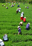 Crowd Vietnamese farmer tea picker  on plantation Stock Photos