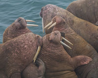 Crowd of Walrus. Pacific walrus rest on the rocks, at Round Island State Game Sanctuary in Alaska Royalty Free Stock Images