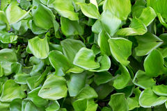 Crowd water hyacinth green leaves in the river, nature backgroun Stock Photography