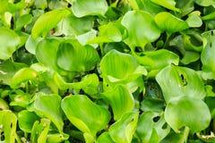 Crowd water hyacinth Stock Photos