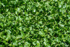 Crowd water hyacinth in a pond Stock Images