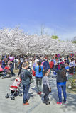 Crowd at Yuyuantan park during Spring Cherry Tree Blossom, Beijing, China Royalty Free Stock Photos