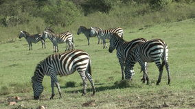 Crowd of zebras. In the Meadow in Africa shot from a safari vehicle during exploration trip stock footage