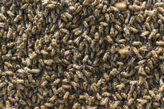 Crowded bee colony populations. Beekeeping;crowded bee colony populations Stock Image
