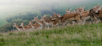A crowded herd of wild fallow deer