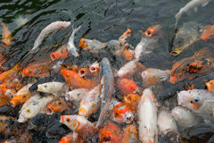 Crowded Koi carps Stock Images