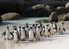 Crowded Penguins  Boulder's Beach Royalty Free Stock Photo
