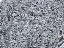 Crowded snowy trees in the winter stock image