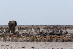 Crowded waterhole with Elephants, zebras, springbok and orix Stock Images
