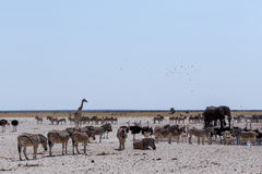 Crowded waterhole with Elephants, zebras, springbok and orix Royalty Free Stock Photography