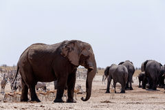 Crowded waterhole with Elephants, zebras, springbok and orix Royalty Free Stock Photos