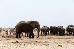 Crowded waterhole with Elephants Stock Image