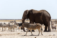 Crowded waterhole with Elephants Stock Photography