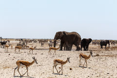 Crowded waterhole with Elephants Stock Images