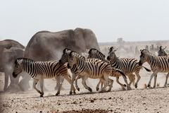 Crowded waterhole with Elephants Royalty Free Stock Photos