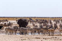 Crowded waterhole with Elephants Royalty Free Stock Images