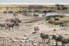 Crowded Waterhole in Namibia. Many different animals at a crowded waterhole in Etosha National Park Namibia Stock Photo