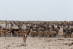 Crowded waterhole with wild animals Royalty Free Stock Photo