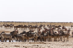 Crowded waterhole with zebras, springbok and orix Stock Images