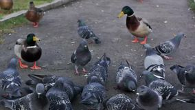 Crowding pigeons and ducks peck stock footage
