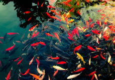 CROWED FISH. These fish live in the pond of the Hongluo Temple,Beijing,China stock image