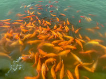 CROWED FISH Royalty Free Stock Images