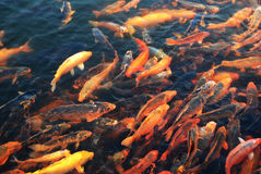 Crowed goldfish. A group of goldfish is swimming toward to the food Royalty Free Stock Photos