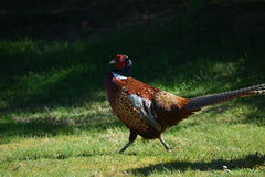 Crowing pheasant. A pheasant displays his potency for the females on the cottage lawn stock images