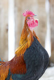 Crowing rooster on farm Stock Image