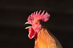 Crowing rooster. An image of the crowing rooster stock photos