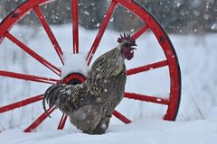 Crowing rooster of old resistant breed Hedemora from Sweden on snow in wintery landscape.