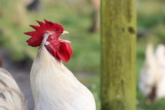 Crowing rooster Stock Photos