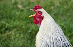 Crowing white Brahma cock Royalty Free Stock Photography