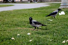 Crowl negro fotos de archivo libres de regalías