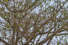 Crown african tree. Great and old  african tree with fruits in the Gambia. West Africa Royalty Free Stock Photo