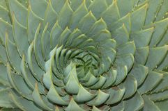 Crown Aloe. Royalty Free Stock Image