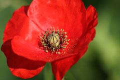 Crown Anemone. Anemone Coronaria  (Crown Anemone Royalty Free Stock Photography