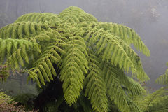 Crown of the Australian tree fern in the mist Royalty Free Stock Images