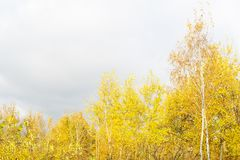 Crown of autumn birches. The crown of an autumn colored tree royalty free stock image