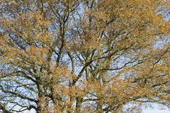 Crown of Autumn oak tree in Loenermark Stock Photos