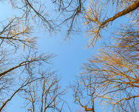 Crown of bald trees under blue sky in winter Stock Image