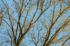 Crown of bald trees under blue sky in winter Stock Photography
