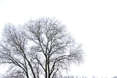 Crown of a bare maple tree in winter with wild pigeons sitting on it`s branches, isolated on white. Crown of a bare maple tree in winter with wild pigeons stock photo